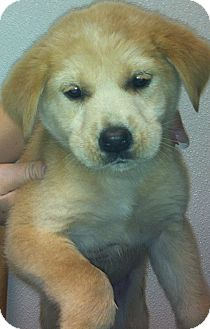 Golden Retriever/Labrador Retriever Mix Puppy for adoption in Oswego, Illinois - I'M ADOPTED Niblet Anthe