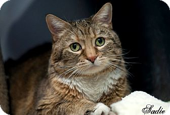 Domestic Shorthair Cat for adoption in Manahawkin, New Jersey - Sadie