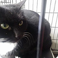 Domestic Shorthair Cat for adoption in East Stroudsburg, Pennsylvania - Samantha