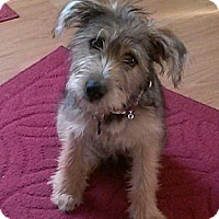 Adopt A Pet :: Honey Bear - Hilliard, OH