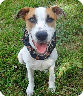 Pointer/Labrador Retriever Mix Puppy for adoption in Houston, Texas - Stella