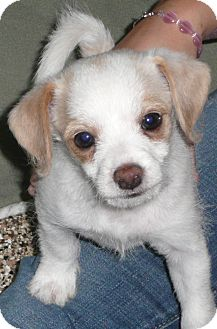 Spaniel (Unknown Type)/Terrier (Unknown Type, Small) Mix Puppy for adoption in Thousand Oaks, California - Peanut Butter