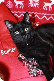 Domestic Shorthair Cat for adoption in Ocean View, New Jersey - Runner