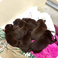 Adopt A Pet :: Java's Pups - Cumming, GA