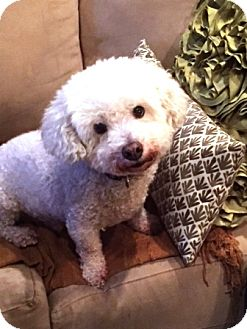 Bichon Frise Dog for adoption in Vista, California - Simba