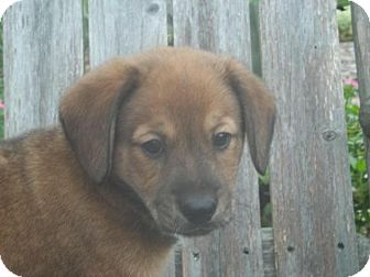 Shepherd (Unknown Type)/Beagle Mix Puppy for adoption in Rocky Mount, North Carolina - Ryland