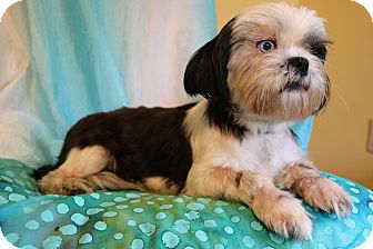 Shih Tzu Dog for adoption in Hagerstown, Maryland - Kami