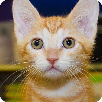 Domestic Shorthair Kitten for adoption in Irvine, California - Joey