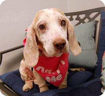 Basset Hound/Beagle Mix Dog for adoption in Wilmington, Delaware - Mrs. Beasley
