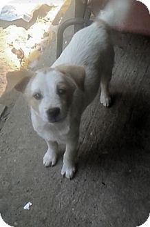 Mixed Breed (Medium)/Hound (Unknown Type) Mix Puppy for adoption in Brunswick, Maine - Simon