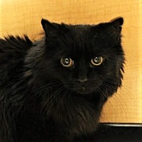 Adopt A Pet :: Mitzy - Richmond Hill, ON