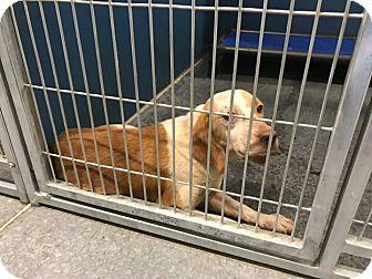 Beagle Mix Dog for adoption in Henderson, North Carolina - Petunia