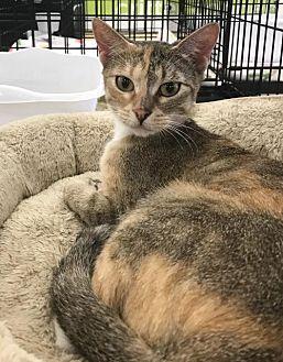 Domestic Shorthair Cat for adoption in San Antonio, Texas - Pebbles