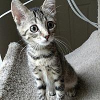 Adopt A Pet :: Misty - Tampa, FL