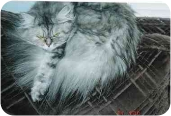 Persian Cat for adoption in Seattle, Washington - Fuzzball