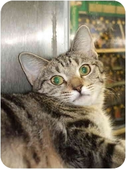 Domestic Shorthair Cat for adoption in Fort Lauderdale, Florida - Ollie