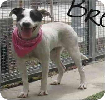 Dalmatian/Hound (Unknown Type) Mix Dog for adoption in West Richland, Washington - Bree - needs foster