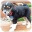 Photo 3 - Australian Shepherd Mix Puppy for adoption in Mt. Prospect, Illinois - Pecan Pie