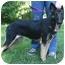 Photo 1 - German Shepherd Dog Puppy for adoption in Nesbit, Mississippi - Misty