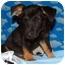 Photo 1 - Dachshund Mix Puppy for adoption in Broomfield, Colorado - Geoffrey Beene