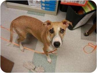 Whippet/Beagle Mix Dog for adoption in Oklahoma City, Oklahoma - Lily