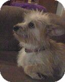 Yorkie, Yorkshire Terrier/Maltese Mix Dog for adoption in Houston, Texas - Lena