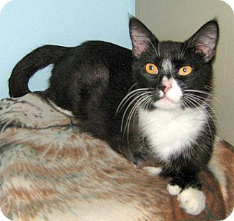 Domestic Shorthair Cat for adoption in Howell, Michigan - Trey