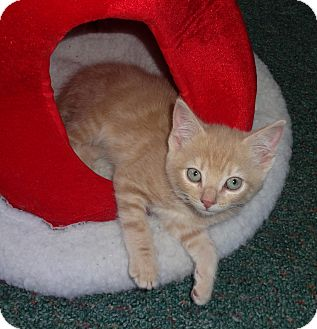 Domestic Shorthair Kitten for adoption in N. Billerica, Massachusetts - Manny