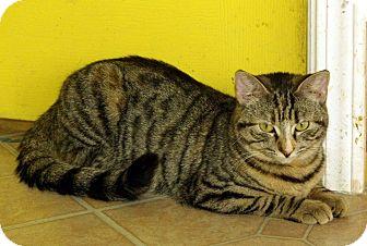 Domestic Shorthair Cat for adoption in Mobile, Alabama - Nala