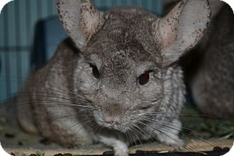 Chinchilla for adoption in Patchogue, New York - Calliope