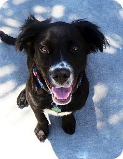 Border Collie/Labrador Retriever Mix Puppy for adoption in Orlando, Florida - King