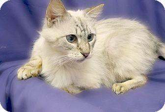 Domestic Mediumhair Cat for adoption in Richmond, Virginia - Frankie
