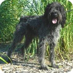 German Wirehaired Pointer Mix Dog for adoption in Columbus, Nebraska - Hansel