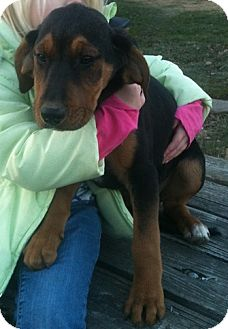 Treeing Walker Coonhound Mix Puppy for adoption in Linton, Indiana - Hinkley