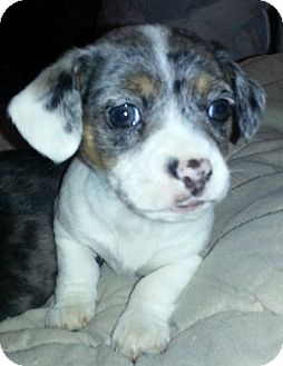 Dachshund Mix Puppy for adoption in New Oxford, Pennsylvania - Skyy