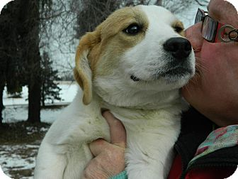 Labrador Retriever/Corgi Mix Puppy for adoption in Cincinnati, Ohio - Tamra: Red Bank Vet