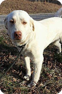 Labrador Retriever/Great Pyrenees Mix Dog for adoption in Salem, New Hampshire - REBA