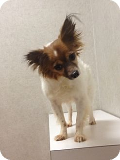 Papillon Mix Dog for adoption in Dedham, Massachusetts - Ernie