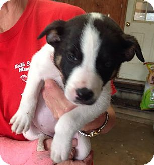 Border Collie/Labrador Retriever Mix Puppy for adoption in Union City, Tennessee - Meghan