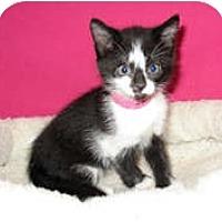 Adopt A Pet :: Lady Gogo - Shelton, WA