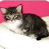 Adopt A Pet :: Kage - Shelton, WA