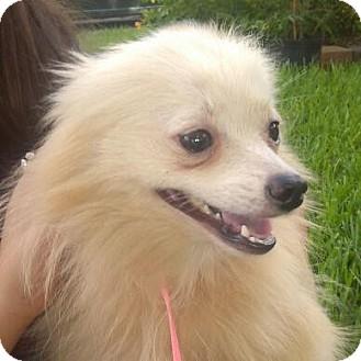 Pomeranian Dog for adoption in Houston, Texas - Marshmallows