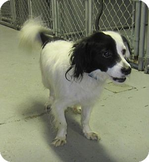Cocker Spaniel/Papillon Mix Dog for adoption in Elizabeth, New Jersey - Perry