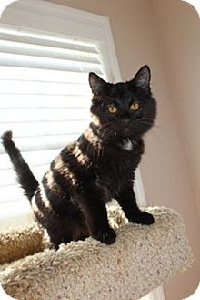 Domestic Mediumhair Kitten for adoption in Knoxville, Tennessee - Meiko