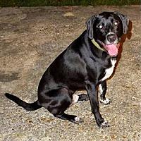 Labrador Retriever Mix Dog for adoption in Madisonville, Louisiana - Brick