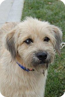 Wheaten Terrier Mix Dog for adoption in Parkville, Missouri - Winnie