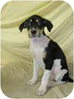 Terrier (Unknown Type, Medium)/Beagle Mix Dog for adoption in Lincolndale, New York - Hensa