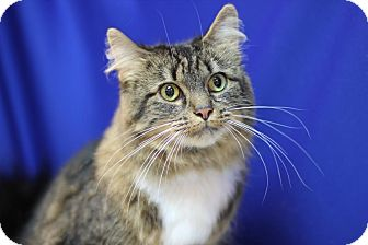 Maine Coon Cat for adoption in Midland, Michigan - Lucy - Barn Cat