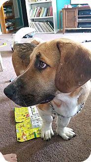 Basset Hound/Beagle Mix Dog for adoption in Austin, Texas - Solow