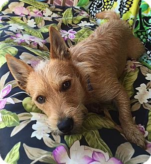 Cairn Terrier/Scottie, Scottish Terrier Mix Dog for adoption in Knoxville, Tennessee - Ronald